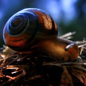 King Snail