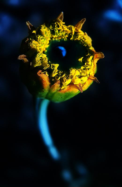 Moonlight Flower