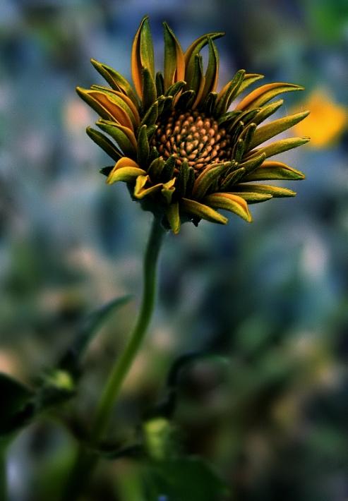 IZ Flower