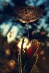 Dandelion Love
