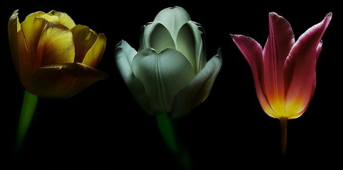 tenebris tulips