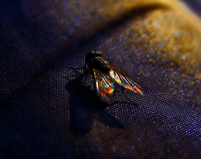 fairy fly (1)