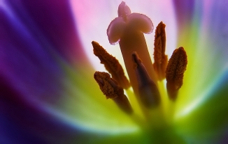 tulip close up 2