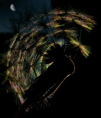 Night Dandelion (1)