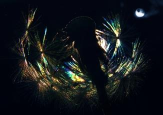Night Dandelion (8)