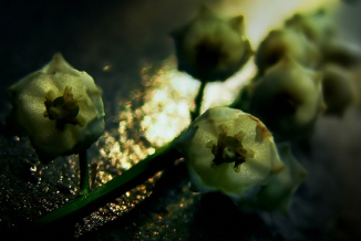 lilies of the valley (6)