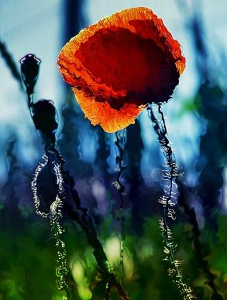 Poppy (4)