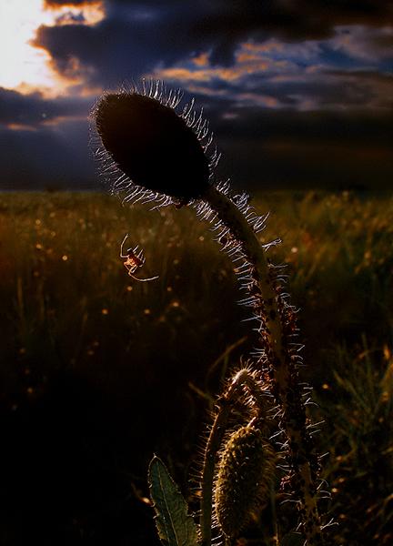 Romantic ( Spider Dreams ) (4)