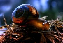 king snail OGV (3)