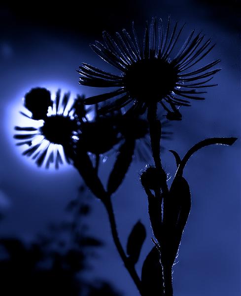 moon flower (1)