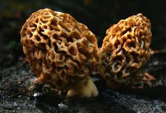 morchella-esculenta-1